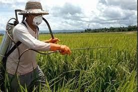 مبارزه با آفت سن مادری در گندمزارهای آباده
