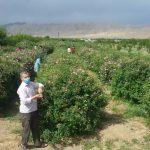 پایان برداشت گل محمدی از بوستان های شهرستان آباده